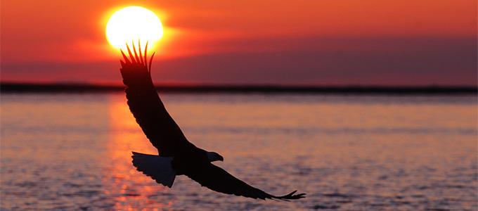 Eagle soaring copy